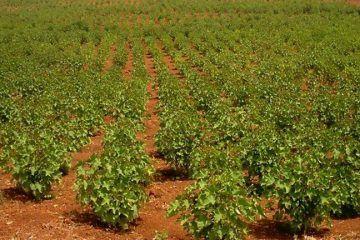 Advierte CNC de probable fraude con Cultivo de la Jatropha