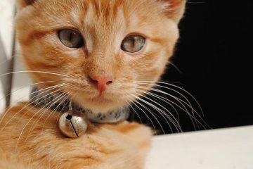 Le pusieron el cascabel al Gato?