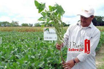Detectan plantíos de soya transgénica en campo de Quintana Roo