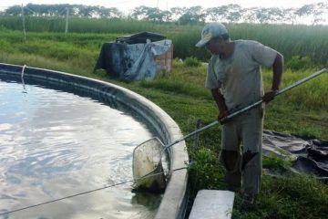 Aumenta la cría de tilapia en la Rivera del Río Hondo