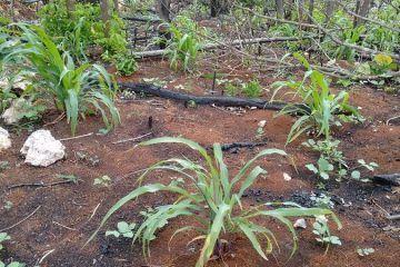 Campesinos temen pérdida de cosecha por ausencia de lluvias