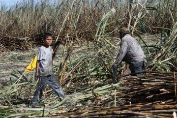 Menores de edad son explotados laboralmente en la zafra