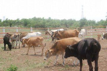 Productores brincan temporada de estiaje que atentó con el hato ganadero