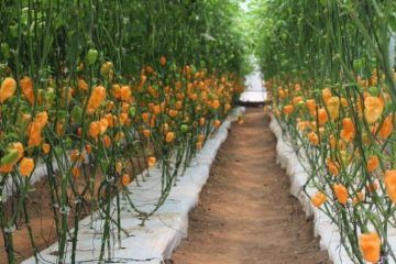 Agricultores proyectan rescate de invernaderos sociales en Carrillo Puerto