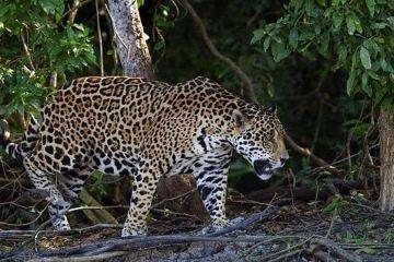 Mi encuentro con un Jaguar en Bacalar