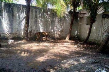 La Profepa Asegura Un Tigre De Bengala Y Un Mono Araña De Casa En Chetumal