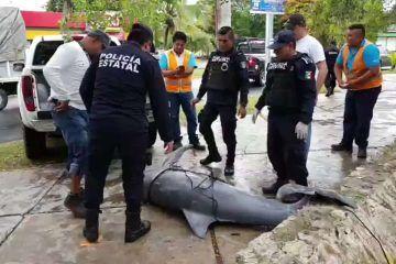 Encuentran cadáver de delfín en la Bahía de Chetumal