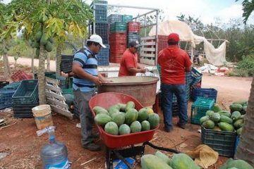 Por falta de recursos, en picada la producción de papaya en JMM