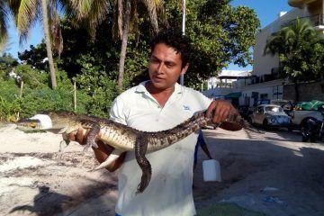 Atrapan cocodrilo cerca de Playa del Carmen