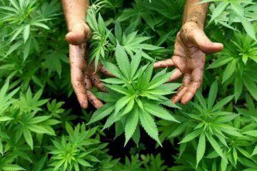 Estos son los lineamientos del reglamento para el uso medicinal de la mariguana